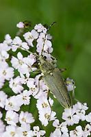 Grüner Schmalbock, Dichtbehaarter Halsbock, Blütenbesuch, Lepturobosca virens, Leptura virens
