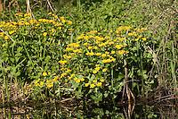 Sumpfdotterblume, Sumpf-Dotterblume, Sumpf - Dotterblume, Caltha palustris, Kingcup, Marsh Marigold