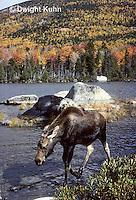 MS08-061z  Moose - Baxter State Park - Alces alces.