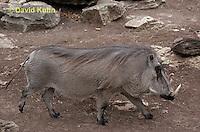 0906-0802  Desert Warthog, Phacochoerus aethiopicus  © David Kuhn/Dwight Kuhn Photography.