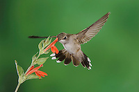 Black-chinned Hummingbird, Archilochus alexandri, female feeding on Sage Flower,Tucson, Arizona, USA, September 2006