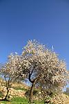 Israel, Jerusalem Mountains, Almond tree in Ein Lavan