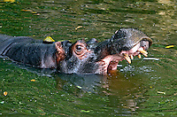 Animais. Mamiferos. Anfibio. Hipopotamo (Hipopotamus amphibius) no Zoologicol. SP. Foto de Juca Martins.