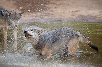 """BNPS.co.uk (01202) 558833<br /> Pic: ZacharyCulpin/BNPS<br /> <br /> Wolf Cool <br /> <br /> SEQUENCE 5 of 6<br /> <br /> Wild swimming - a pack of European wolves enjoy a cooling dip at Longleat as temperatures<br /> start to rise ahead of a predicted heatwave over the weekend.<br /> The wolves, which were once native across the UK, were introduced to their Wiltshire<br /> woodland home in 2019.<br /> Since arriving at Longleat the pack has grown significantly with the arrival of two sets of<br /> cubs.<br /> """"The wolves actually love the water, especially during the summer, and will spend quite a lot<br /> of time splashing about in their pond and using it as somewhere to cool down,"""" said keeper<br /> Ian Turner."""