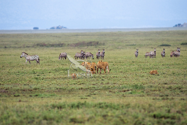 African Lion pride looking over zebras.  Africa.