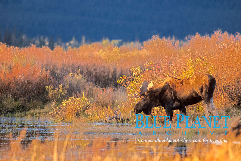 moose, Alces alces, bull stands in a meadow, Grand Teton National Park, Wyoming, USA
