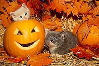 Two kittens playing in Halloween disply one sitting inside pumpkins