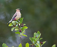 It was a nice surprise to see Cedar Waxwings active at Nisqually NWR during a summer visit.