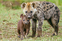 Spotted Hyena or Laughing Hyena (Crocuta crocuta) adult with cub, Massai Mara, Serengeti, Rift Valley province, Kenya, Africa