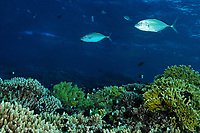 Two bluefin trevally fish over a fire coral colony, latin name Caranx melampygus, Fire coral, latin name Millepora sp., Saint John's reef, south Red Sea, Egypt
