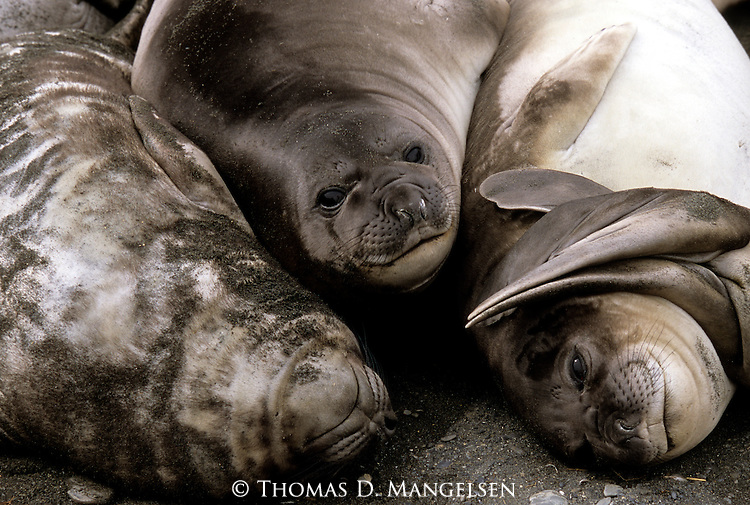 Close-up of Southern elephant seals resting on the beach in Grytviken, South Georgia.