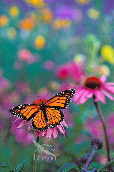 Px246  Monarch Butterfly on coneflower in field of wildflowers. Prairie areas in mid Western US.