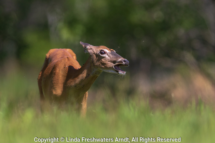 White-tailed doe trying to shake off insects on a warm July afternoon.
