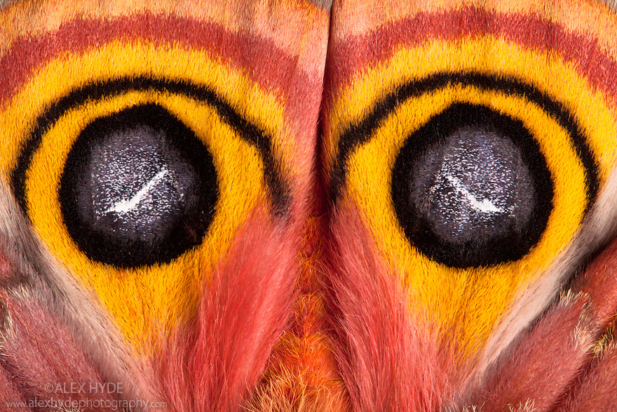 Close-up of Bullseye Moth {Automeris io} showing eye spot markings on wings during deimatic display to deter predators. Captive, originating from North and Central America. website