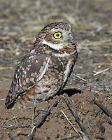 Rocky Mountain Raptor Program. This burrowing owl lost an eye in an unknown accident probably involving a car. He has adapted well to his role in the environmental education program.