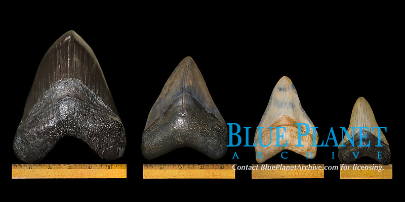 megalodon fossil tooth and reconstructed jaw, Carcharocles megalodon, from fossils of 15 million years old