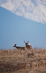Whitetail buck chasing a doe in the fall rutting season in Montana