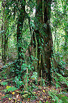 Epiphytes on Rainforest Tree, Border Ranges National Park, NSW