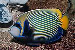 Emperor Angelfish swimming left