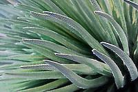 Beautiful closeup photo of the Silversword plant in HALEAKALA NATIONAL PARK on Maui in Hawaii USA