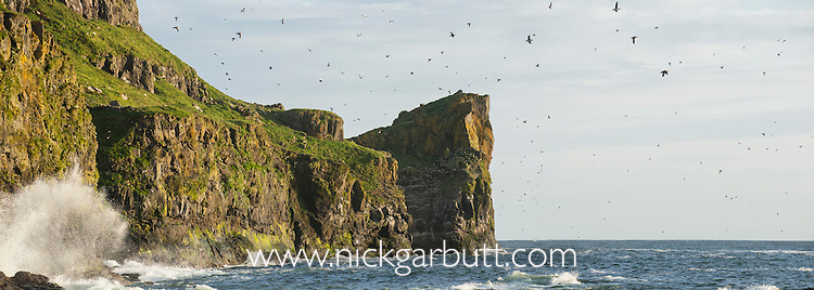 Large numbers of Atlantic Puffins (Fratercula arctica) and other sea birds flying too and from cliff top breeding sites. Isle of Lunga, Treshnish Isles, Isle of Mull, Scotland.