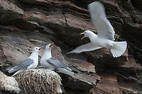 Dreizehenmöwe, Paar, Pärchen auf ihrem Nest in der Steilwand, Felswand, Dreizehen-Möwe, Möwe, Dreizehenmöve, Rissa tridactyla, kittiwake, am Brutfelsen, Vogelfelsen, Vogelfels
