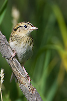 Le Conte's Sharp-tailed Sparrow perched on a branch