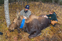 Wildlife Biologist putting radio telemetry color on sedated moose Alces alces gigas , Alaska, USA