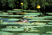 BV04-001z  Beaver - swimming in pond - Castir canadensis