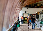 January 24, 2019: Accelerate walks shed row after exercising in preparation for the Pegasus World Cup Invitational on January 24, 2019 at Gulfstream Park in Hallandale Beach, Florida. Scott Serio/Eclipse Sportswire/CSM