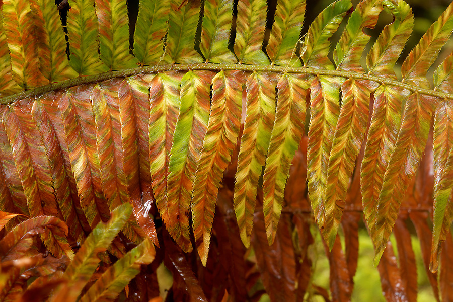 Western swordfern turning brown in late winter, Queets rainforest, Olympic National Park, Jefferson County, Washington, USA