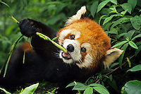 Red Panda (Ailurus fulgrens) eating bamboo.