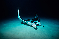 reef manta ray, Mobula alfredi, feeding at night, Little Cayman, Cayman Islands, Caribbean Sea, Atlantic Ocean