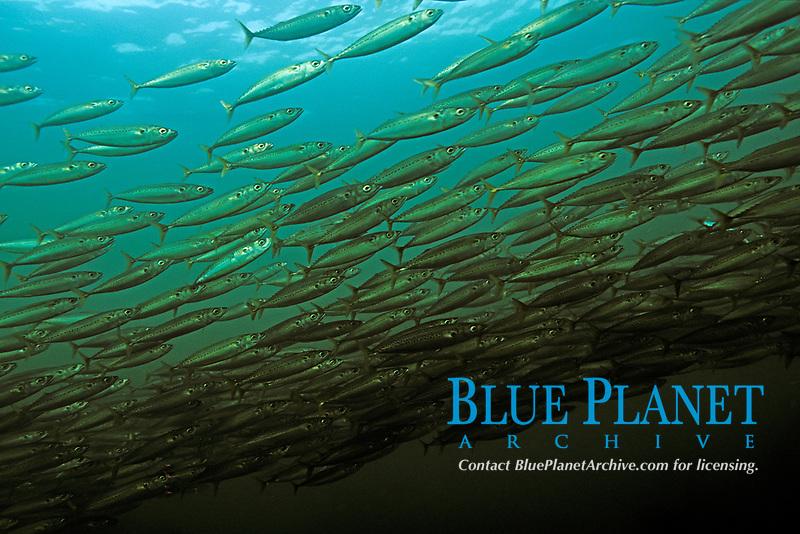 Blue mackerel, Scomber australasicus, Futo, Sagami bay, Izu peninsula, Shizuoka, Japan, Pacific Ocean