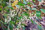 Japanese knotweed, and introduced invasive plant, Randolph, Massachusetts