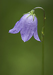 Mountain Harebell Bellflower wildflower