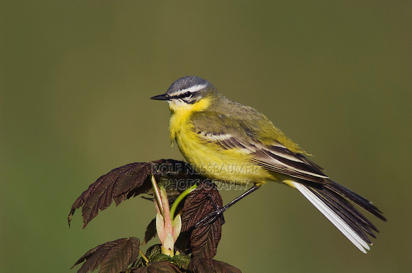 Yellow Wagtail, Motacilla flava, male on maple, National Park Lake Neusiedl, Burgenland, Austria, Europe