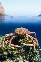 Crab sitting on an underwater rock, Crete, Greece, Europe