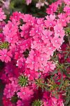 Veralena Timeless Pink Verbena, Verbena hybrida