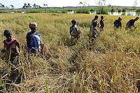 MADAGASCAR Mananjary, canal des Pangalanes, women at rice harvest / MADAGASKAR, canal des Pangalanes, Frauen bei Reisernte