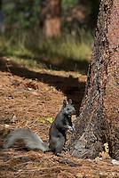 Kaibab Squirrel (Sciurus aberti Kaibabensis)