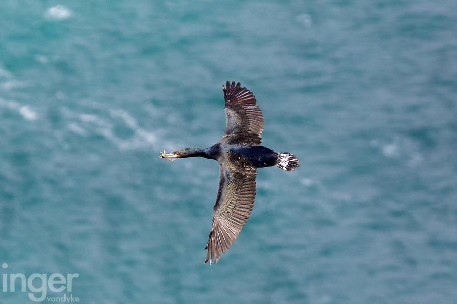 Cape Cormorant in flight at Cape Agulhas