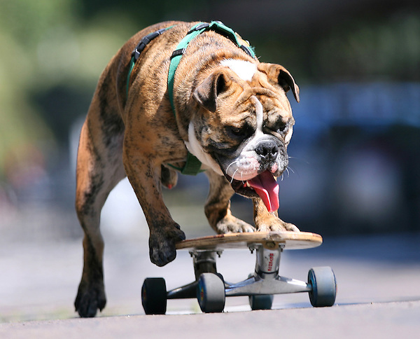 L.Bulldog.0502.jl.jpg/photo Jamie Scott Lytle/Hoover the 19 month old Bulldog from Leucadia rides a skateboard in front of his home Friday. His owner Michelle Caldwell says she named him Hoover because he sucks up everything that falls on the floor.