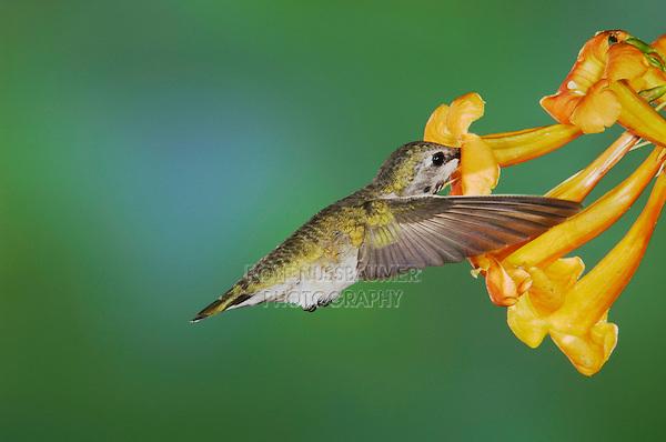 Costa's Hummingbird, Calypte costae, young male in flight feeding on  Yellow Trumpet Flower(Tecoma stans),Tucson, Arizona, USA