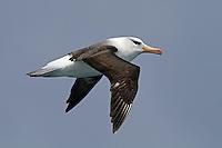 Black-browed Albatross in flight