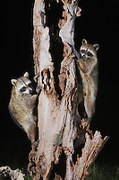 Northern Raccoon (Procyon lotor), pair climbing tree, Sinton, Corpus Christi, Coastal Bend, Texas, USA