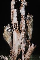 Northern Raccoon (Procyon lotor), pair climbing tree, Sinton, Corpus Christi, Coastal Bend, Texas, USA