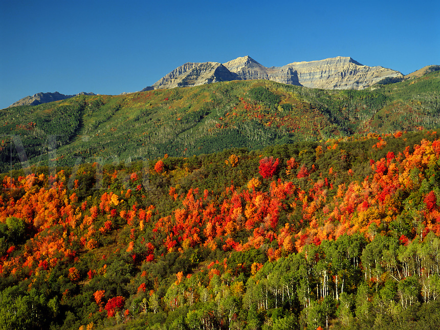 Art in Nature 9409-0164 - The peak of Mount Timpanogos rises above the Cascade Trail as fiery fall foliage spreads slowly across the hillside below. Wasatch Range, Rocky Mountains, Utah.