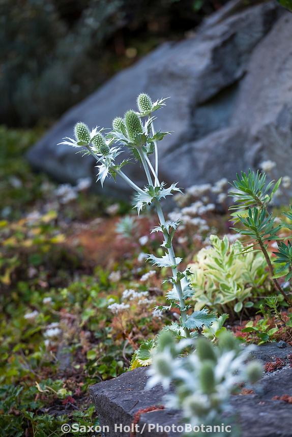 Eryngium giganteum (Miss Willmott's Ghost), Elisabeth Miller Botanical Garden