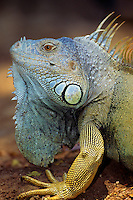 Green Iguana or Common Iguana (Iguana iguana)